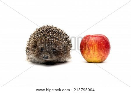 small hedgehog and red apple isolated on white background. horizontal photo.