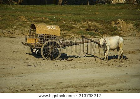 Burmese rural transportation with white oxen and wooden cart on rest at Bagan Myanmar (Burma).