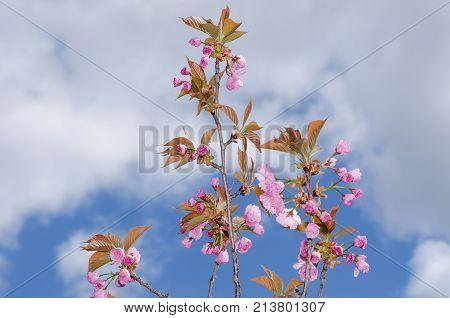 Blue Sky Sakura Spring Season Tree Beauty