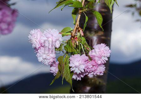 Branch Spring Season Sakura Tree Flower Pink