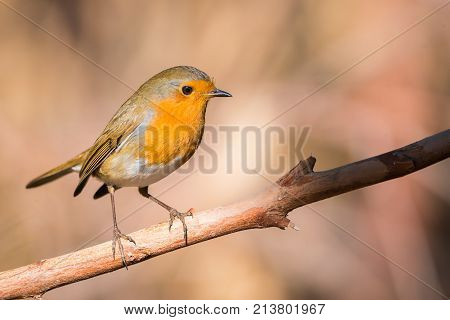 robin bird or Erithacus rubecula in forest with copy space for text