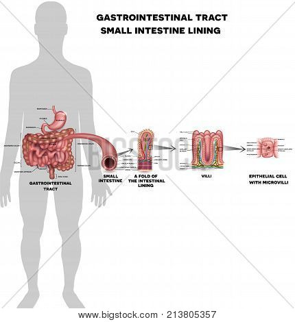 Small Intestine Lining