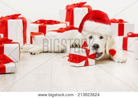 New Year Dog with Present Gift Funny Christmas White Retriever in Santa Red Hat chewing Box