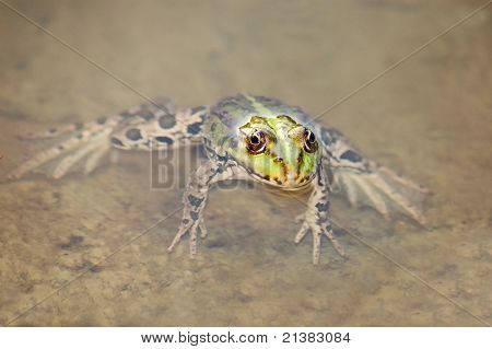 Frog in the algae in the pond poster