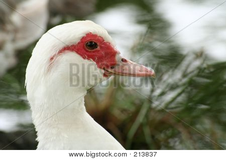 White And Red Duck