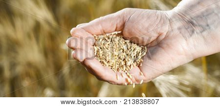 Panorama of harvest time and golden hour. Wheat grains falling from old woman hand in the wheat field, blur focus
