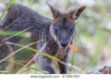 Pademelon eating - native Australian marsupial mammal