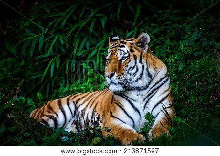 Resting Amur tiger Panthera tigris altaica in grass