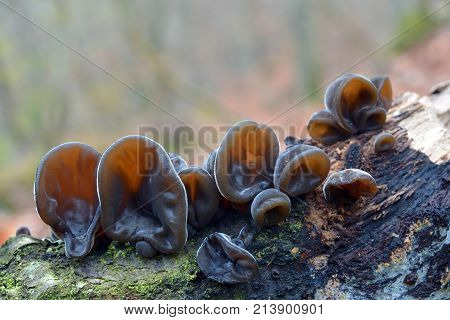 auricularia auricula-judae mushroom known as the Jew's ear wood ear jelly ear