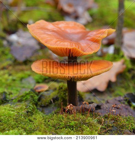 flammulina velutipes mushroom also known as enoki and enokitake or velvet foot and velvet shank