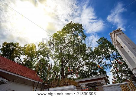 View of important Buddhist tree Mahabodhi growing near temple in Anuradhapura, Sri Lanka.