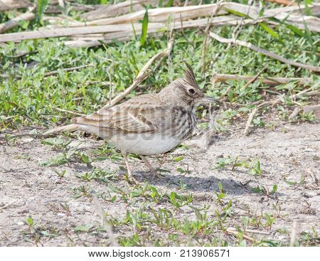 A crested lark (Galerida cristata) on the beach with its crest raised