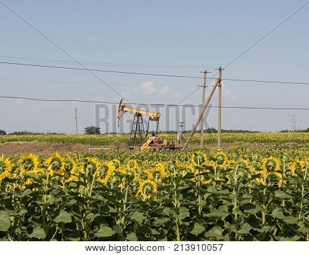 Oil pump jack operating in sunflower field. Sunny day