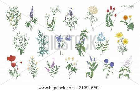 Set of realistic detailed colorful drawings of wild meadow herbs, herbaceous flowering plants, beautiful blooming flowers isolated on white background. Hand drawn botanical vector illustration