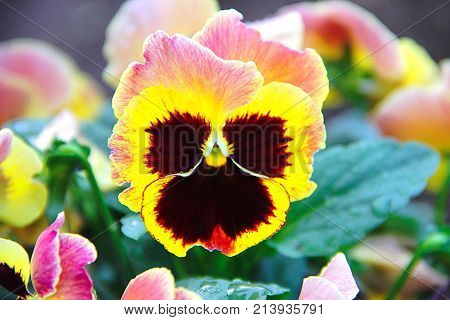 A flower of a pansy eyes (a three-color violet) growing in the garden. The photo was taken immediately after the rain - on the green leaves of the drop. The petals of the flower are yellow-red.