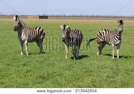 Three Zebras standing in the grass in the spring steppe covered by grass and flowers in the nature reserve Askania-Nova. Ukraine. 2017.