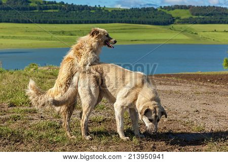 Two dogs are making love and sex, love and sex of two dogs