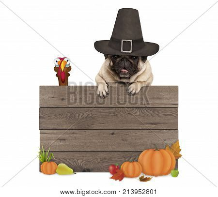 funny pug dog wearing pilgrim hat for Thanksgiving day with blank wooden sign and turkey isolated on white background