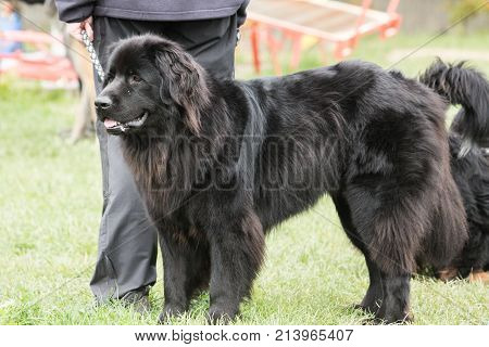 outdoor portrait of a newfoundland (terre neuve) domestic dog at work in belgium poster