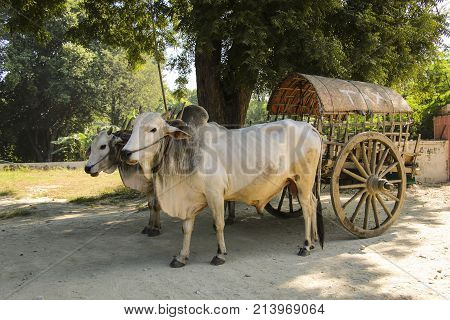 Burmese rural transportation with two white oxen and wooden cart at Bagan Myanmar (Burma)