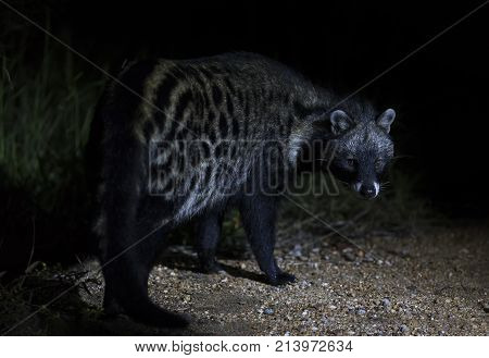 Close up of a Civet Cat in a spotlight at night time