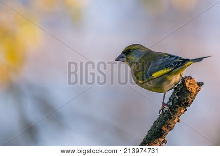 Single Male Greenfinch Bird Perched On Twig