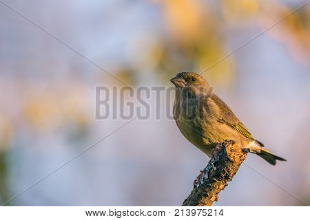 Single Male Greenfinch With Dirty Beak Sitting On Dry Twig