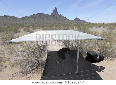 PICACHO, ARIZONA, MAY 21. Rooster Cogburn Ostrich Ranch on May 21, 2017, near Picacho, Arizona. An Ostrich Family Rooster Cogburn Ostrich Ranch near Picacho Arizona.