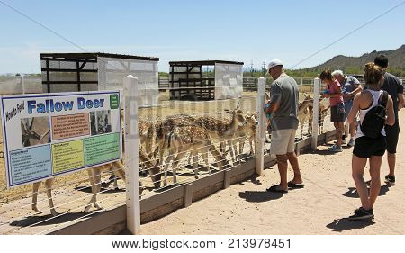 PICACHO, ARIZONA, MAY 21. Rooster Cogburn Ostrich Ranch on May 21, 2017, near Picacho, Arizona. A Man Feeds Fallow Deer Rooster Cogburn Ostrich Ranch near Picacho Arizona.