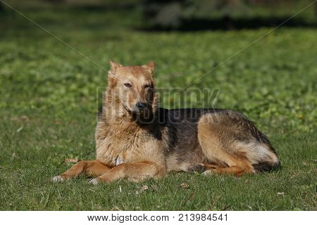 Big dog lying on the grass.Street dog. An unrelated animal. Friend of human.A lonely dog. A non-pedigree dog