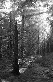 black and white photo of sunbeams shining into the dark eery spruce forest poster