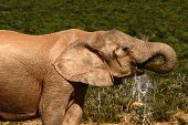 large elephant having a long drink with water dripping poster