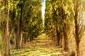 Pathway through cypress trees in Tuscany countryside in winter poster