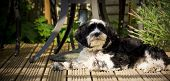 Dog laying on decking in the sun poster