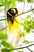 Lesser Bird of Paradise or Paradisaea minor. One Of the most exotic birds in Papua New Guinea. poster