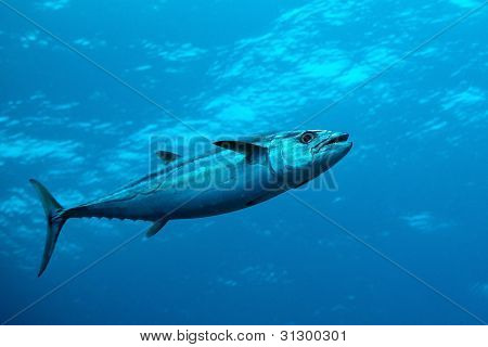 Dogtooth Tuna In Water Of Indian Ocean, Maldives