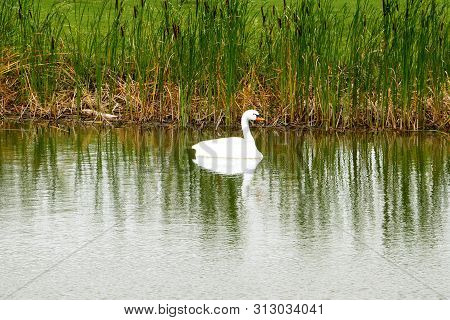 A Swan Swimming In Pond Near A Public Golf Course In Fargo Nd.