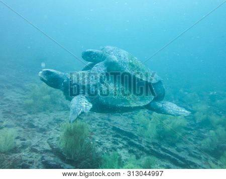 Two Marine Turtle Mating Underwater In Galapagos Islands