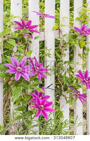 Brilliant Red And Purple Flowers On Vines Climbing A White Picket