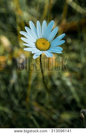 A Single Flower That Grows Among The Grasses. The Beauty Of Simplicity. Dasy
