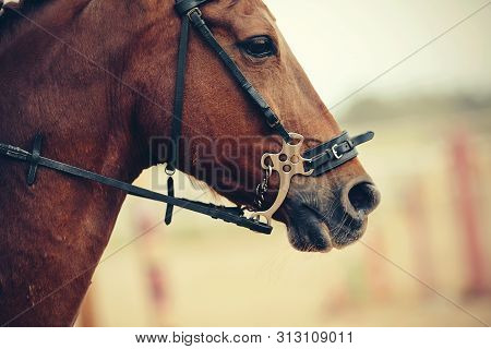 The Muzzle Is Sports Red Stallion In The Bridle. Dressage Horse. Equestrian Sport.