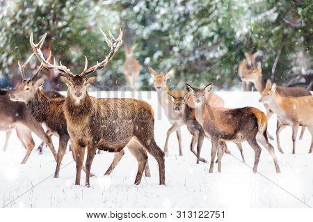 Artistic Winter Christmas Nature Image. Winter Wildlife Landscape With Noble Deers Cervus Elaphus. M