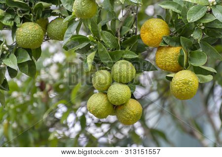 Citrus Fruits Of Sour Orange Bergamot Riping On Blossoming Thee