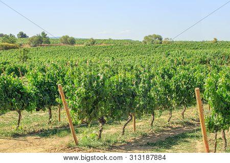 Vineyard Field Landscape In Spain Catalonia. Vineyard In Tarragona, Catalonia, Spain.
