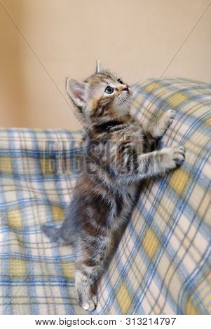 Inquisitive Little Domestic Kitten On The Couch.