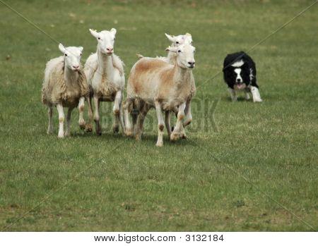 Collie Dog Herding Sheep