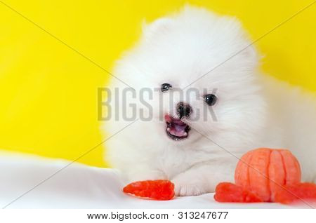 One Month Old Puppy Pomeranian Spitz On A Yellow Background. Tiny Funny Puppy Playing. Dog With A Ma