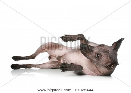 Peruvian hairless dog resting on a white background poster