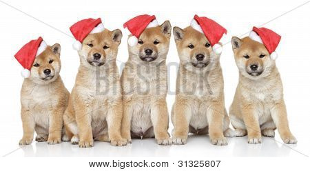 Shiba inu puppies in Christmas caps on a white background poster