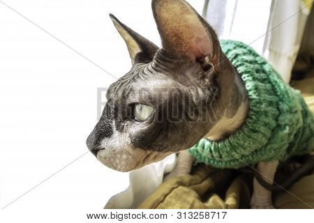 Cat of breed the canadian Sphynx in sweater near the window. Hairless tomcat portrait close up. poster